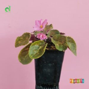 Bunga African violets