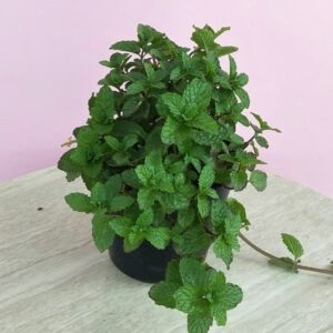 Tanaman herbal daun mint Papermint