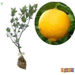 jeruk lemon jumbo