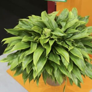 Philodendron karet