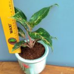 Tanaman hias pot indoor (dracena golden milky)
