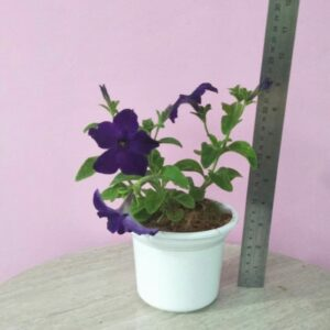 Tanaman petunia bunga ungu (Surprise Grape Petunia)