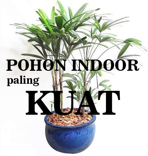 Palem jari waregu POHON INDOOR PALING the best